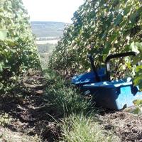 Vendanges 2016 dans les vignes du champagne Gasmar à Troissy Bouquigny