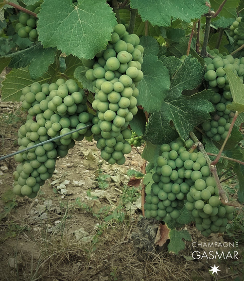 Grappes cépage meunier vignes troissy-bouquigny champagne Gasmar.