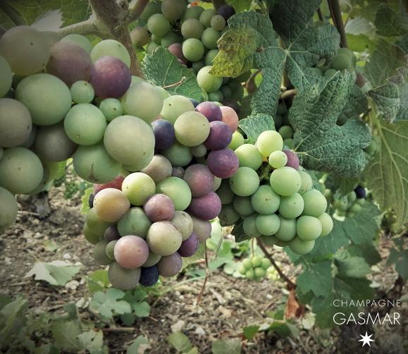 Début de la véraison dans les vignes à Troissy Bouquigny