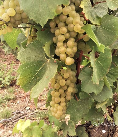 Ces grappes de chardonnay dans nos parcelles de la côte des blancs