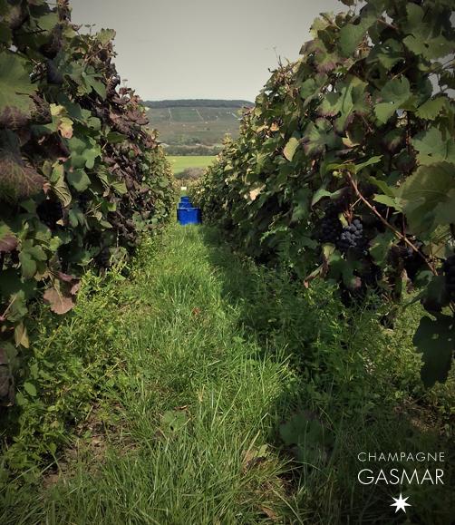 Début de vendange dans les vignes à Troissy Bouquigny