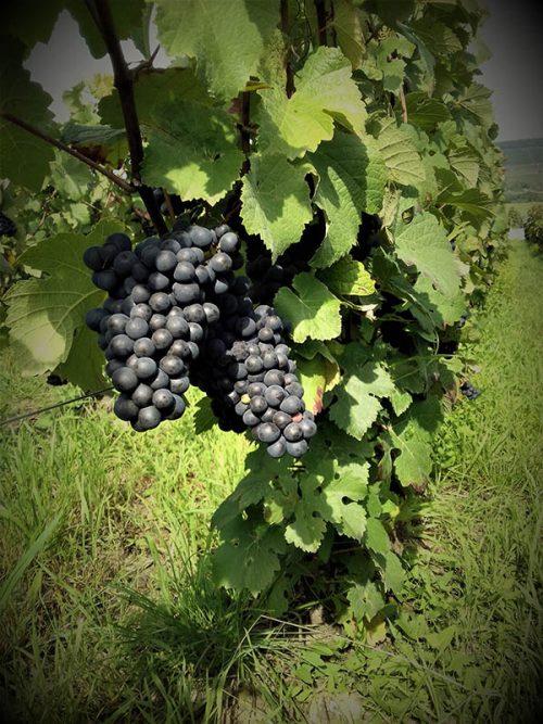 Meunier vendanges 2017 dans les vignes à Troissy Bouquigny dans la Marne.