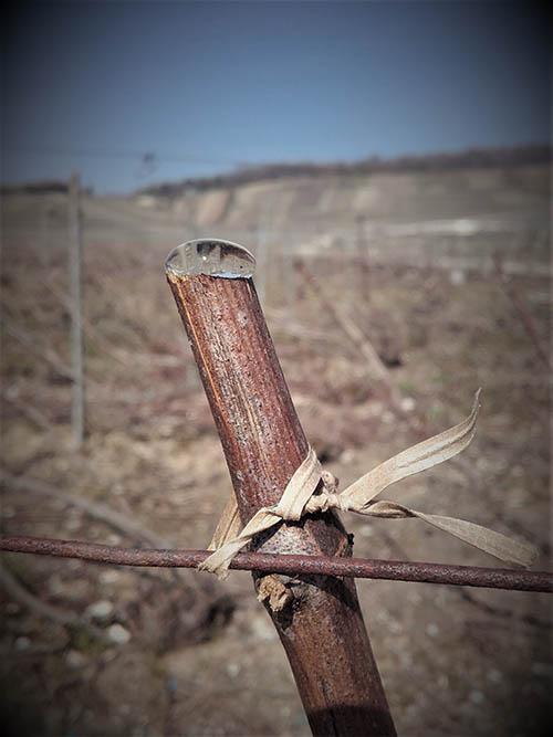 Sève montante dans les vignes à Troissy Bouquigny