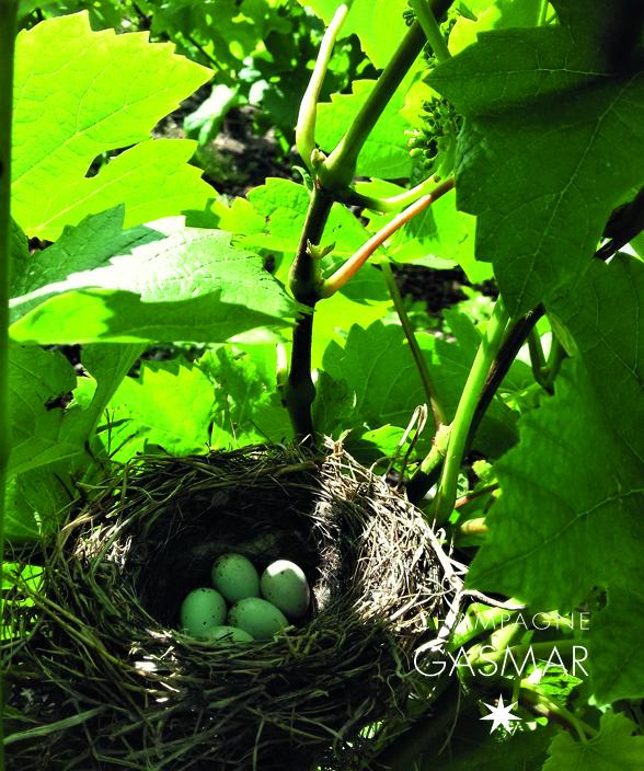 Nid dans les vignes à Troissy