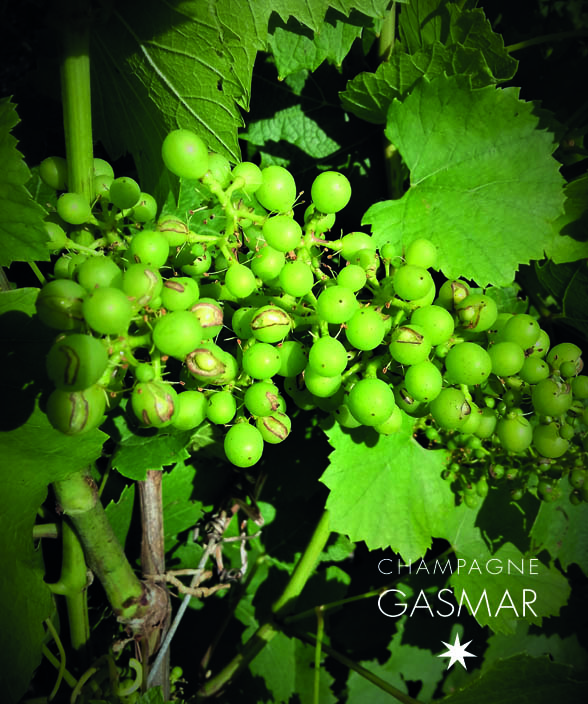 Bromius Obscurus dans les vignes du champagne Gasmar