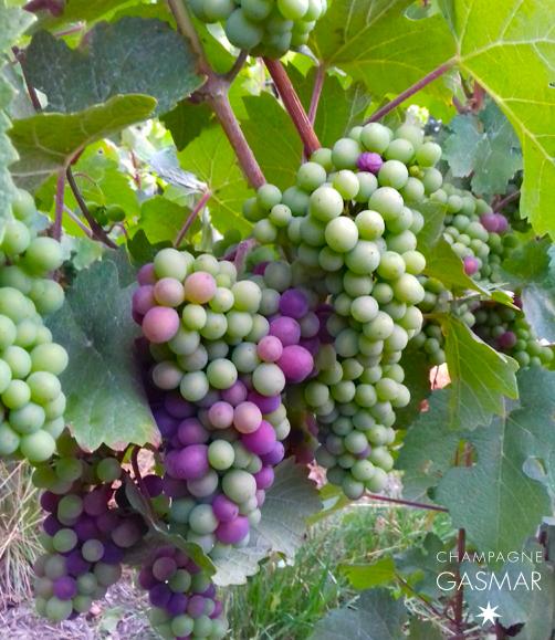 Début de la véraison pour les meuniers dans les vignes du champagne Gasmar à Troissy Bouquigny