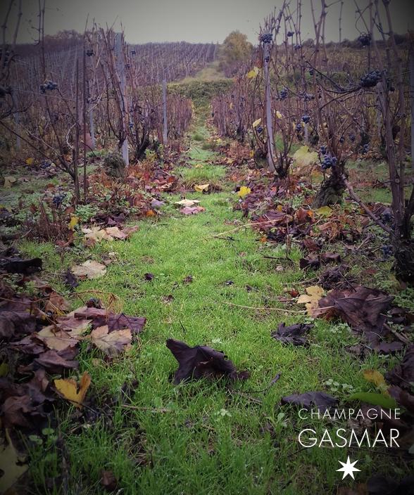 Enherbement naturel d'automne dans les vignes du champagne Gasmar dans la Marne.